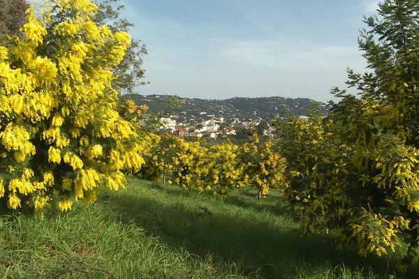 Le mimosa de la Croix des Gardes à Cannes
