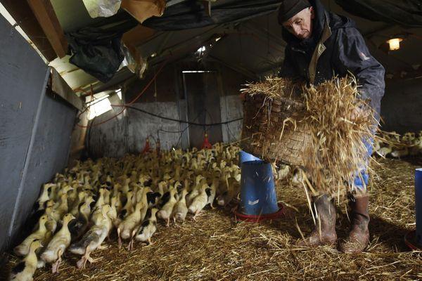 Dans un élevage de canards en Chalosse ( Landes )