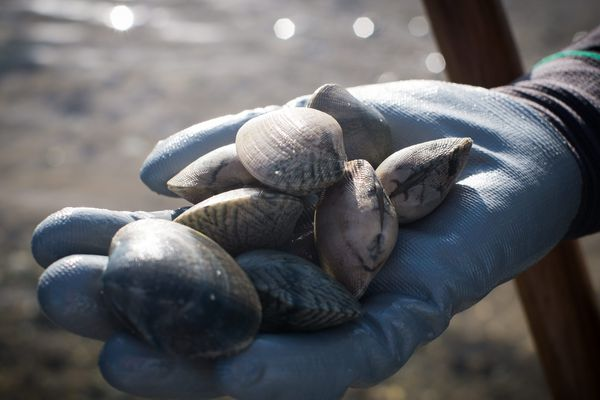 Un phénomène d'anoxie a entraîné la destruction du stock de palourdes, la pêche va être de nouveau interdite