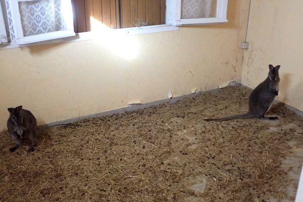 Les wallabys ont été retrouvés dans une chambre.