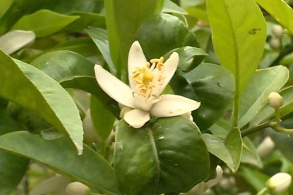 La fleur d'oranger délicate et précieuse pour la maison Chanel