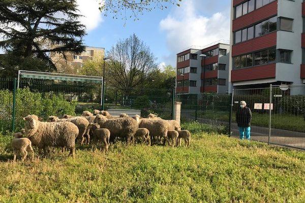 Naturama, fondée en 2000, possède 200 moutons qu'elle met à disposition de ses clients. Certains le sont à l'année. L'association compte 5 salariés dont deux dédiés aux soins aux brebis.