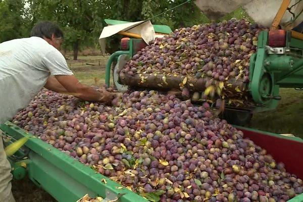 Cette année, les prunes sont arrivées avec trois semaines d'avance.