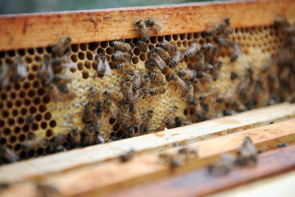 L'association patrimoniale de la plaine de Versailles tente de comprendre les raisons de la mortalité des abeilles.