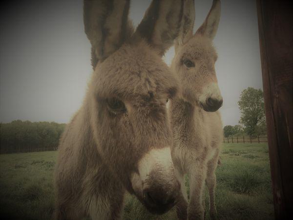Vous avez un terrain? Adoptez un âne! Ou mieux, deux !