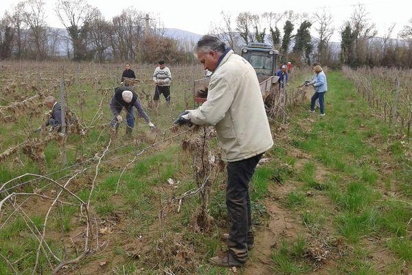 Des bénévoles nettoient les vignes chez les viticulteurs sinistrés.