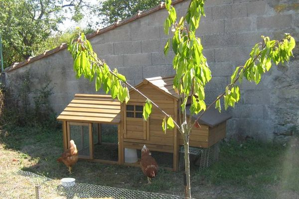 Les poules peuvent avaler jusqu'à 150 kg de biodéchets par an