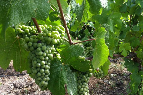Dans les vignes du Puy-de-Dôme, pour un 31 juillet, les grappes sont déjà belles et denses. Les vendanges pourraient commencer mi-septembre, si la grêle ne s'invite pas d'ici là...