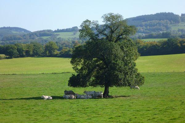 Les arbres isolés sont importants pour le bétail : ils offrent de l'ombre et ses feuilles peuvent pallier au manque d'herbe.