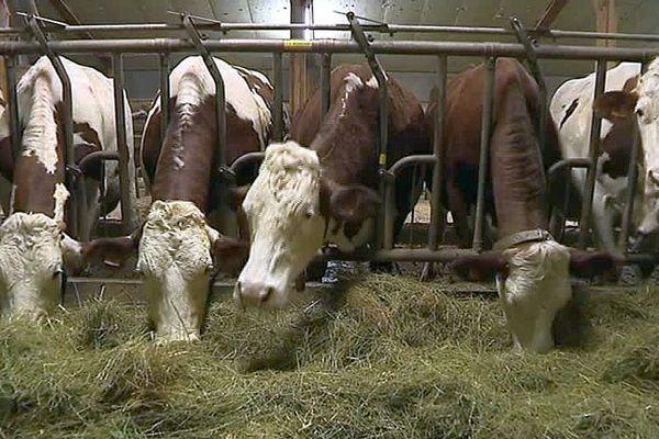Lozère - Vaches laitières - archives