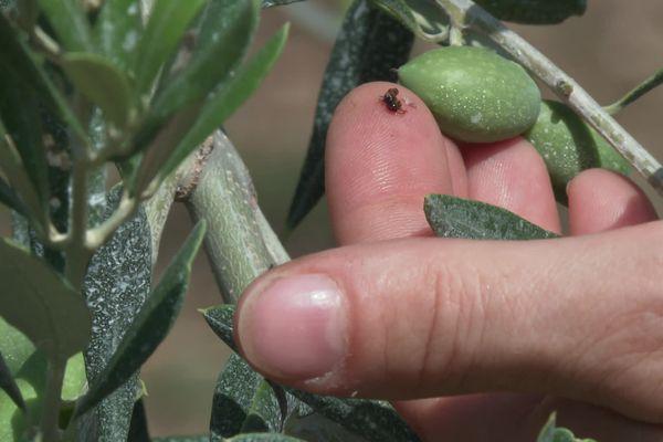 La mouche de l'olivier pond ses œufs dans les olives