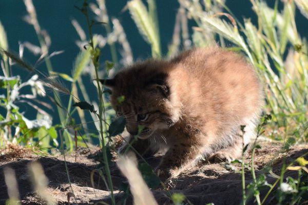Quel nom pour ce petit lynx ?