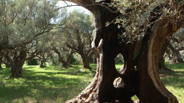 L'oliveraie des Laures à la Farlède où chaque arbre est une œuvre d'art.