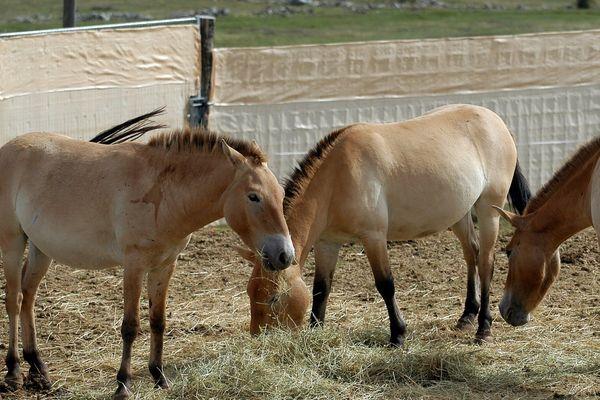 """En 2004, au Villaret, douze chevaux de Przewalski avaient quitté le Causse Méjean en Lozère, pour la Mongolie. L'association """"TAKH"""" a mis sur pied un programme de réintroduction de l'espèce qui peuplait autrefois l'Europe et les vatses plaines d'Asie Centrale."""