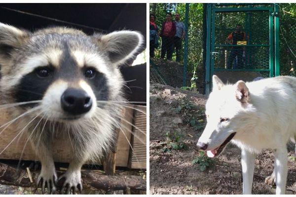 Les ratons laveurs et loups arctiques sont plus enclins à sortir le bout de leur nez de nuit l'été / Parc Argonne découverte, le 10 août 2019