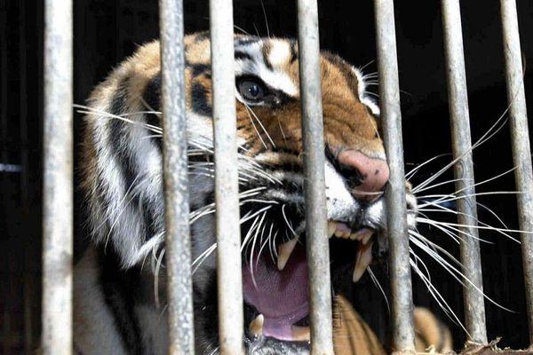 10 tigres saisis dans l'Oise et pris en charge par Tonga Terre d'accueil, à Saint-Martin-la-Plaine (illustration archives)