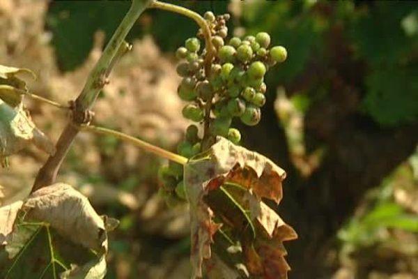03/09/15 - Xylella Fastidiosa, inquiétude dans les vignes de Patrimonio