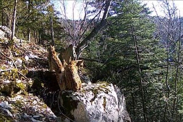 Une mère lynx et son petit filmés en Franche-Comté