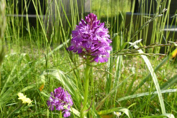 Des orchidées ont fait leur apparition dans le cimetière Monumental de Rouen.