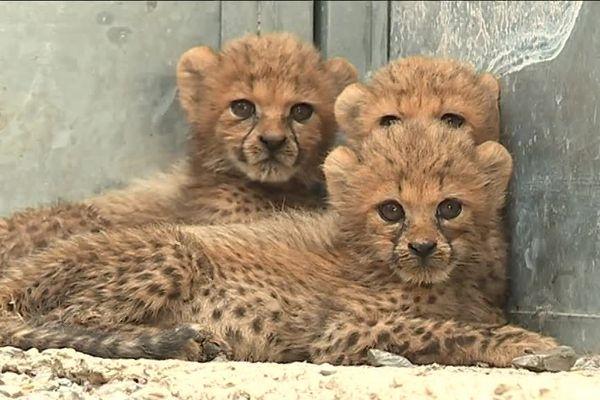 Ces trois petits guépards sont en instance d'adoption au Zoo du Lunaret à Montpellier - août 2018