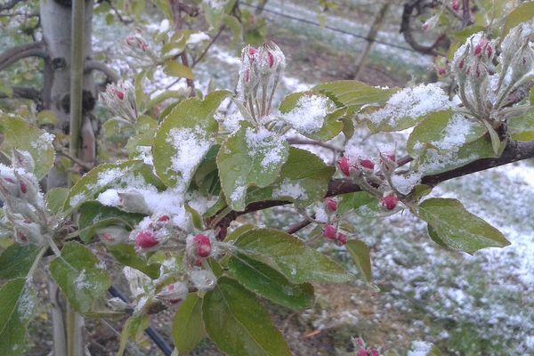 Des giboulées de neige ont frappé le Verger de l'Arly, le 6 avril dernier.