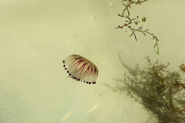Une méduse boussole dans les eaux d'Ouistreham
