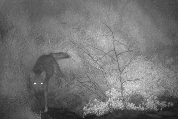 Le 14 mai 2021 matin, le loup a été pris en photo sur la commune de Jard-sur-mer par un dispositif de piège photo visant à assurer un suivi de la faune sauvage.