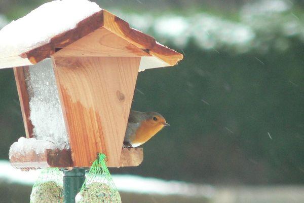 ...La pie-grièche grise ! Image suivante : Bien caché dans les bois au printemps, il est facile à observer en hiver. Quand il est à la recherche de vers de terre et autres petits insectes. C'est...