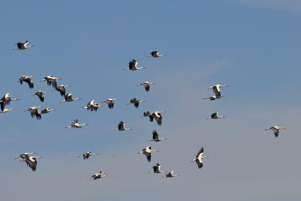 Vol de cigognes