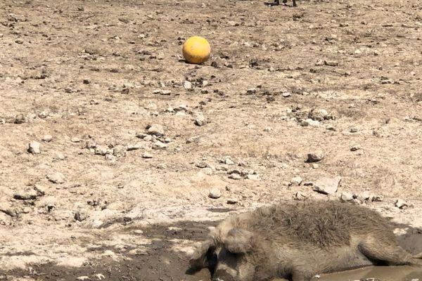 Le Mangalica est très différent d'autres porcs, mais il n'a pas encore appris à jouer au football.