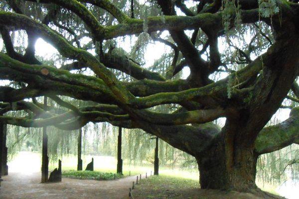 Planté par un pépiniériste il y a 150 ans,  le plus bel arbre d'Ile de France, un cèdre bleu pleureur de l'Atlas est visible à l'arboretum de la Vallée-aux-Loups situé à Chatenay-Malabry.