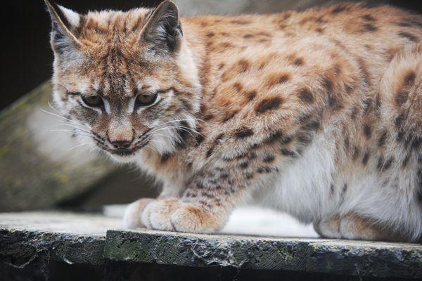 Une centaine de lynx adultes vivraient à l'état sauvage en France, dans le Jura, les Alpes et les Vosges.