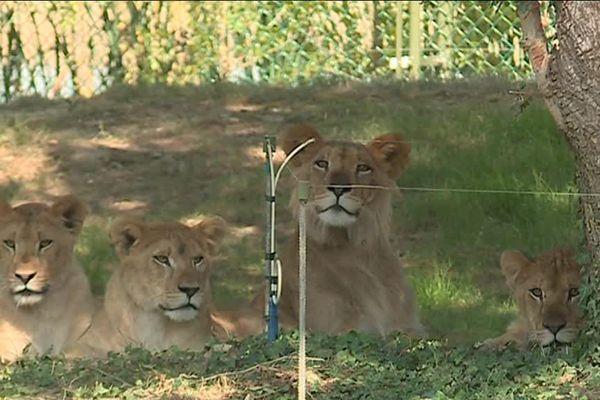 Prochain objectif pour les nouveaux arrivants s'acclimater à Sybille la lionne du Zoo.