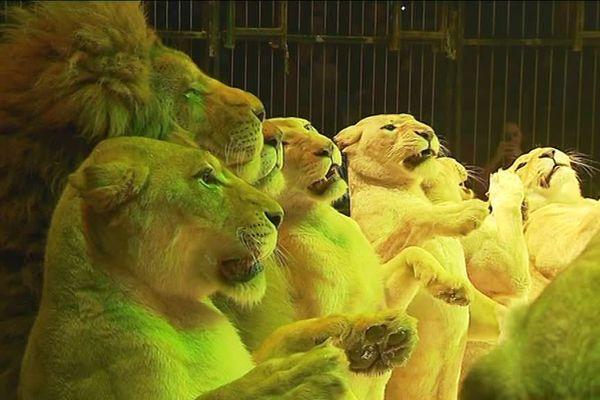 Les lions de Frédéric Edelstein, cirque Medrano, décembre 2018