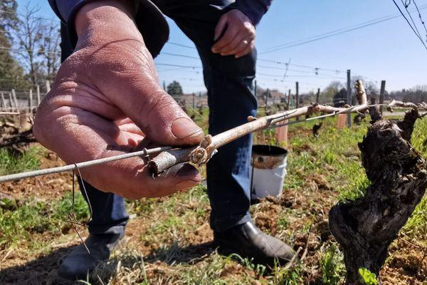 Dans le vignoble bourguignon, on estime entre 60% et 80% de pertes concernant les blancs.
