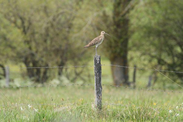 En Auvergne, la Ligue de Protection des Oiseaux entend secourir les courlis cendrés, une espèce vulnérable, grâce à des drones à caméra thermique.