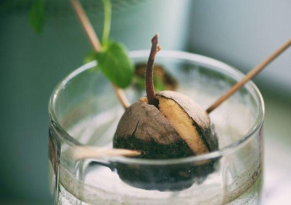 Il suffit d'un noyau d'avocat, 3 cure-dents et d'un verre d'eau pour obtenir de quoi faire une plante d'intérieur