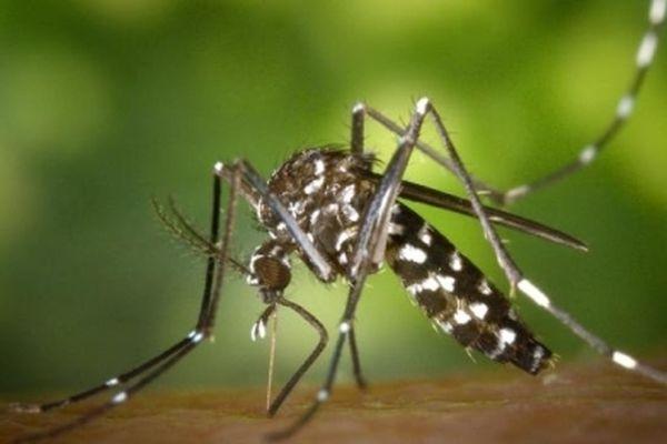 Le moustique tigre est vecteur de maladies dont le chikungunya, la dengue ou le virus zika