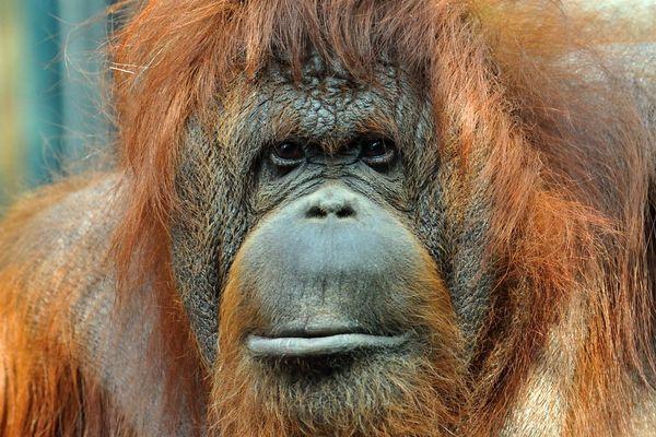 Nénette, l'orang-outan