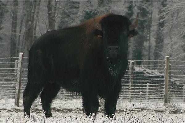 Les bisons mâles peuvent peser plus d'une tonne et mesurer 2 mètres au garrot.