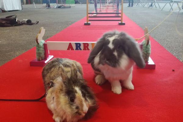 Les lapins sauteurs d'obstacles visibles au salon avicole et apicole de Limoges
