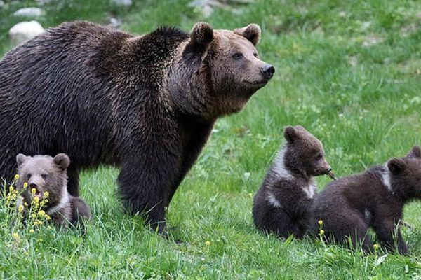 Ours du Parc du Val d'Aran en Espagne