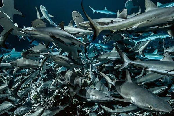 Une plongée au cœur d'une meute de requins, ça vous dit ?