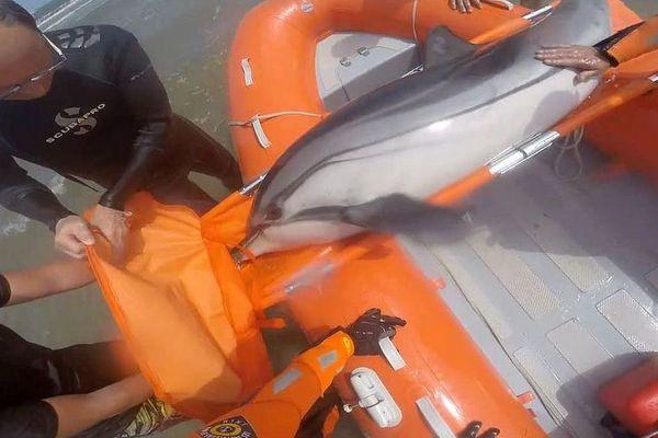 Hérault : la SNSM d'Agde vient au secours d'un dauphin échoué à Vias-Plage - 29 mai 2018.