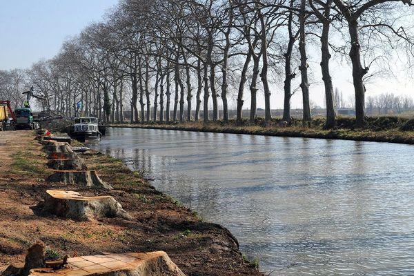 En mai 2012, le long du canal du Midi, plusieurs milliers de platanes atteints par le chancre coloré ont été abattus.