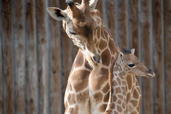 Ramatou, la maman girafe, a déjà mis au monde 3 autres girafons
