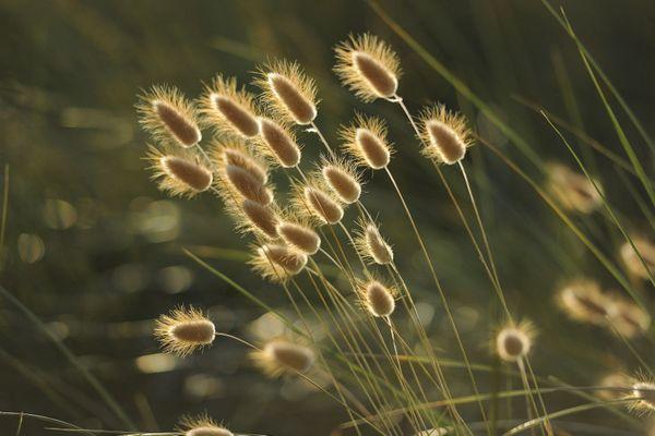Les pollens de graminées déclenchent le rhume des foins.