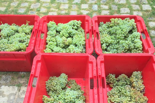 Les vendanges du vignoble vieux de 300 ans ont démarré