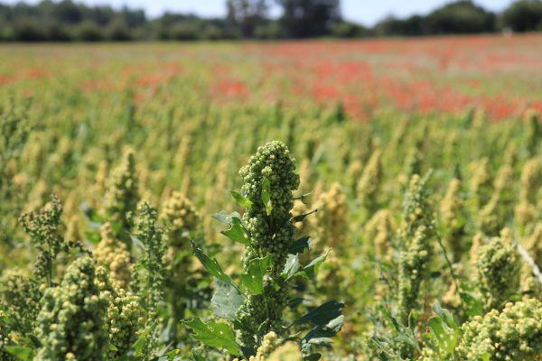 Le quinoa venu des Andes, se plait particulièrement dans les terres du Maine-et-Loire où la récolte atteint 4000 tonnes en 2020