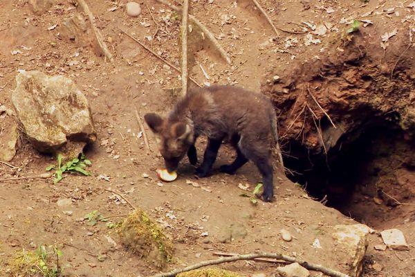 La chasse à la pomme sauvage, tout à fait dans les cordes de ce jeune louveteau !